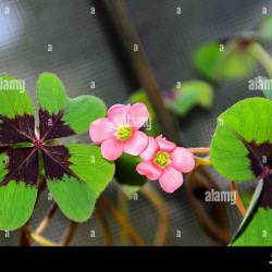 Pink Four Leaves Clover Flowers Green Leafs Trefoil Lucky Symbol