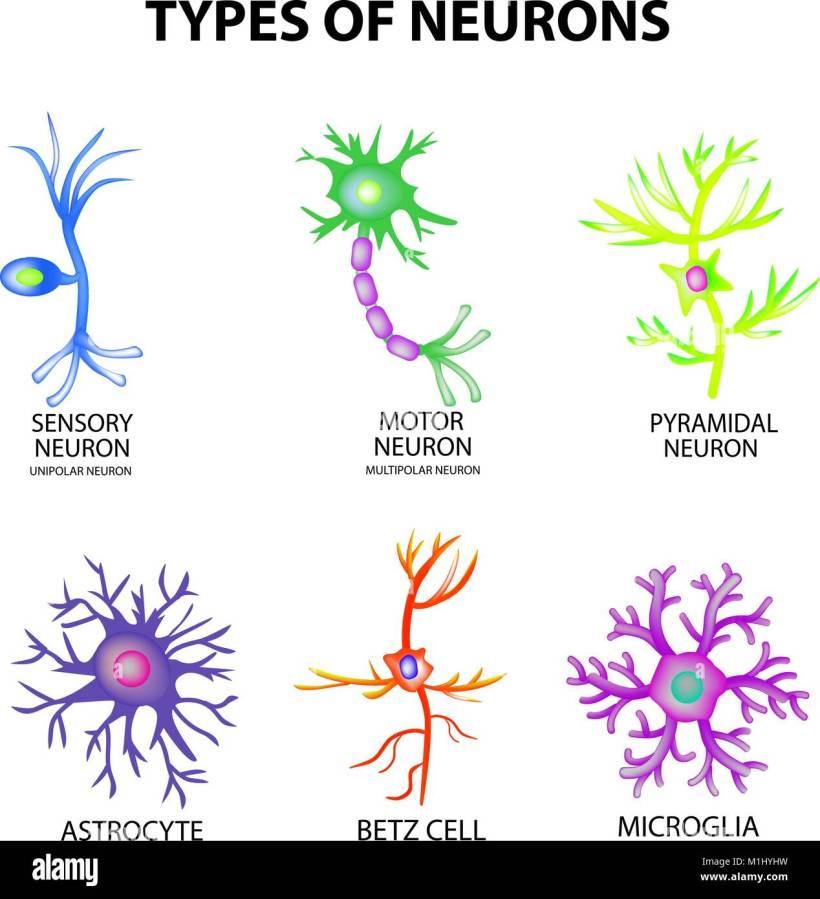 motor neuron multipolar | kakamozza.org