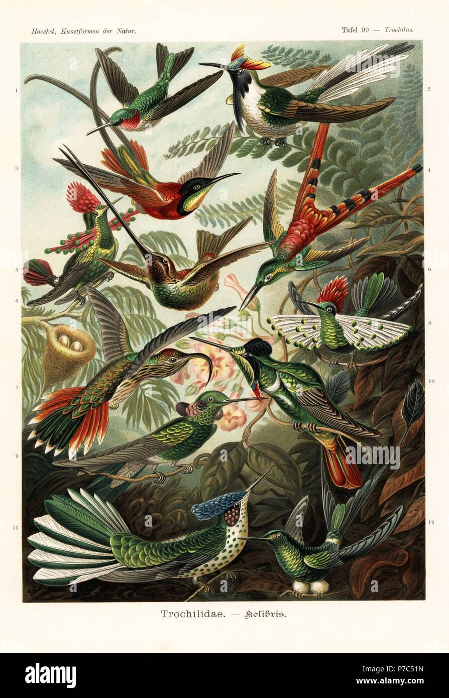 Trochilidae hummingbirds  ruby throated hummingbird  Archilochus     Trochilidae hummingbirds  ruby throated hummingbird  Archilochus colubris  horned  sungem  Heliactin bilophus  crimson topaz  Topaza pella  red tailed comet