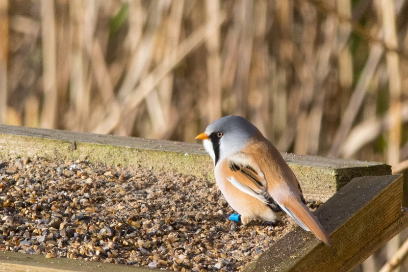 Male Bearded Tit on the grit trays at Leighton Moss