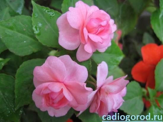 Цветок бальзамин и описание