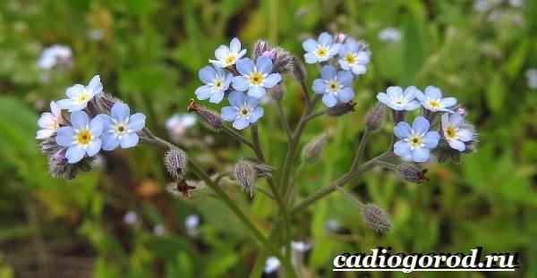 Незабудка-цветок-Выращивание-незабудок-Уход-за-незабудками-2