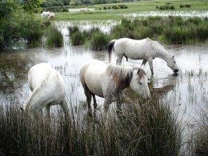 promenade-caleches-camargue-chevaux-marais