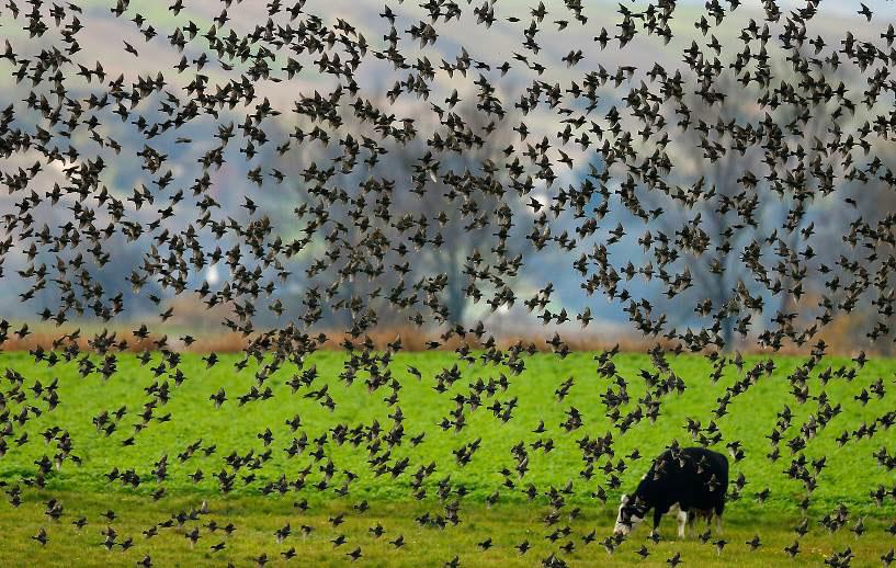 oiseauxvache
