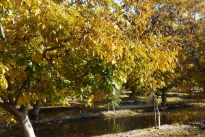 Fall Walnut Orchard Free of Excess Boron