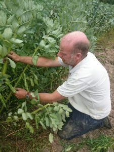 picking-broad-beans-camelcsa-220715