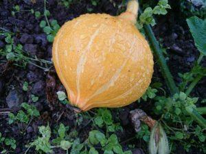 golden-nugget-squash-camelcsa-0716