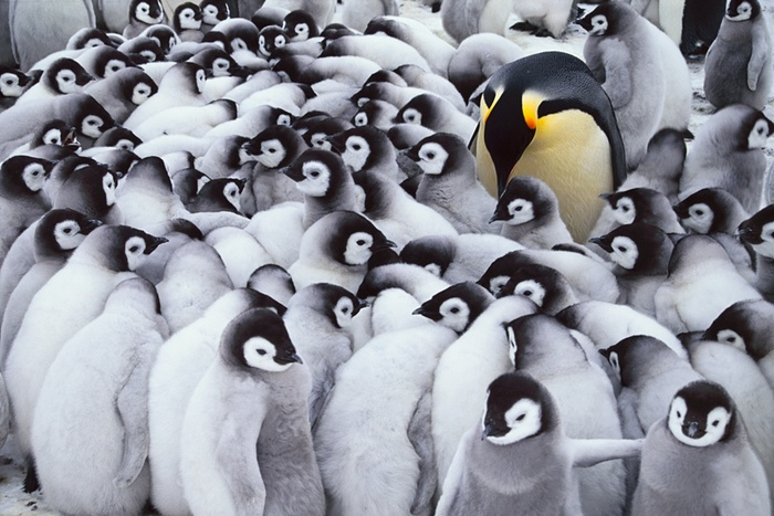 Anyone know the way to Madagascar? You have to pity this poor penguin, left in charge of the youngsters while everyone else goes out for dinner. Emperor penguin chicks huddle in crèches where a few adults supervise them. The chicks may all look alike, but parents recognise their own baby bird by its voice Photograph: Frans Lanting/FLPA