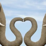 heart shaped nose elephant couple