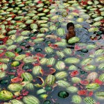 Dhaka, Bangladesh: Children gather watermelons from the the water