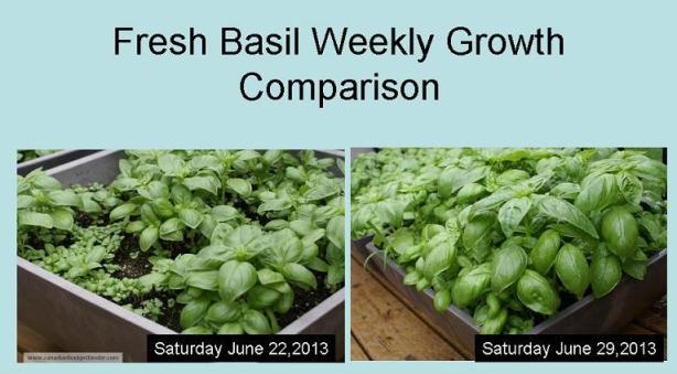Fresh Basil Weekly Growth Comparison