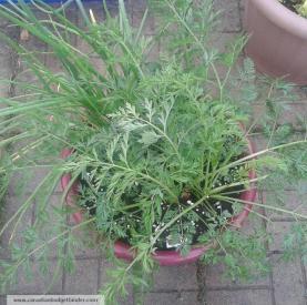 carrots-onions-planter-companion