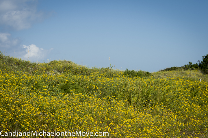 The dunes covered with yellow flowers.