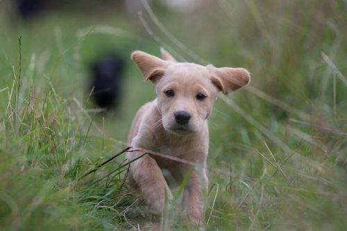 Medium Of Pink Eye In Dogs