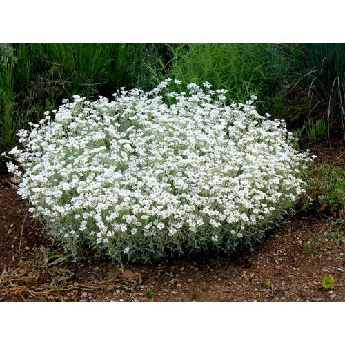 Medium Crop Of Snow In Summer Plant