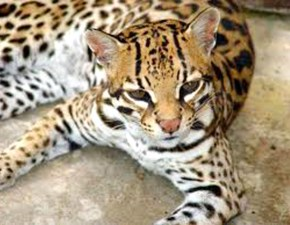 The Leopardus pardalis, better known as ocelot or cunaguaro