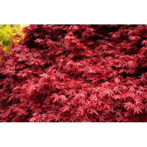Medium Crop Of Red Dragon Japanese Maple