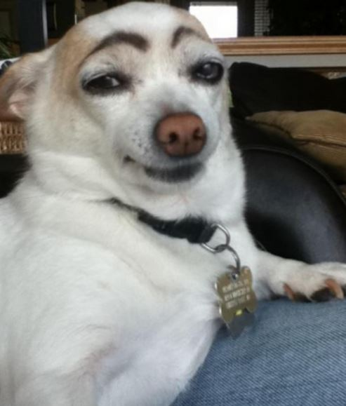 dog eyebrows