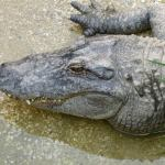 auckland zoo croc