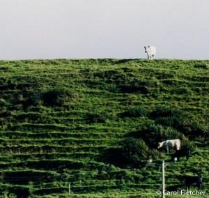 Doolin Cows