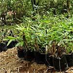 Bamboo Propagation