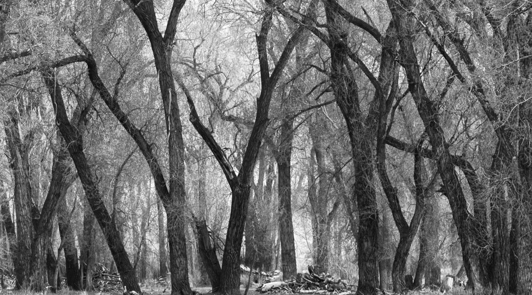 cottonwood_forest
