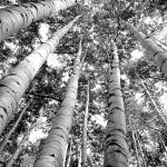 brother aspens