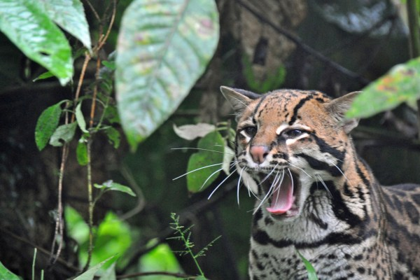 An ocelot in the cloud forest at Mashpi Lodge Ecuador.