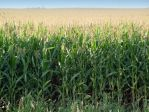 Minnesota-corn-20030826