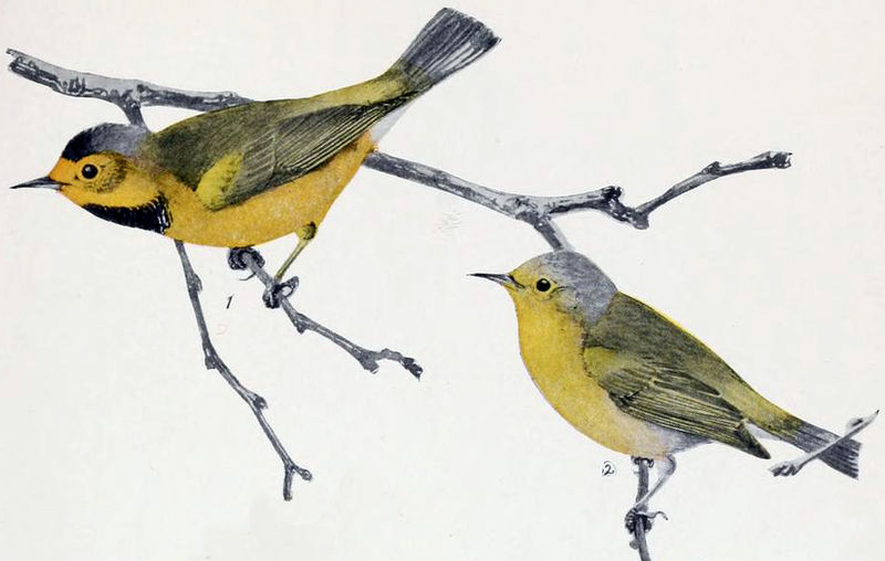 800px-Bachman's_Warbler