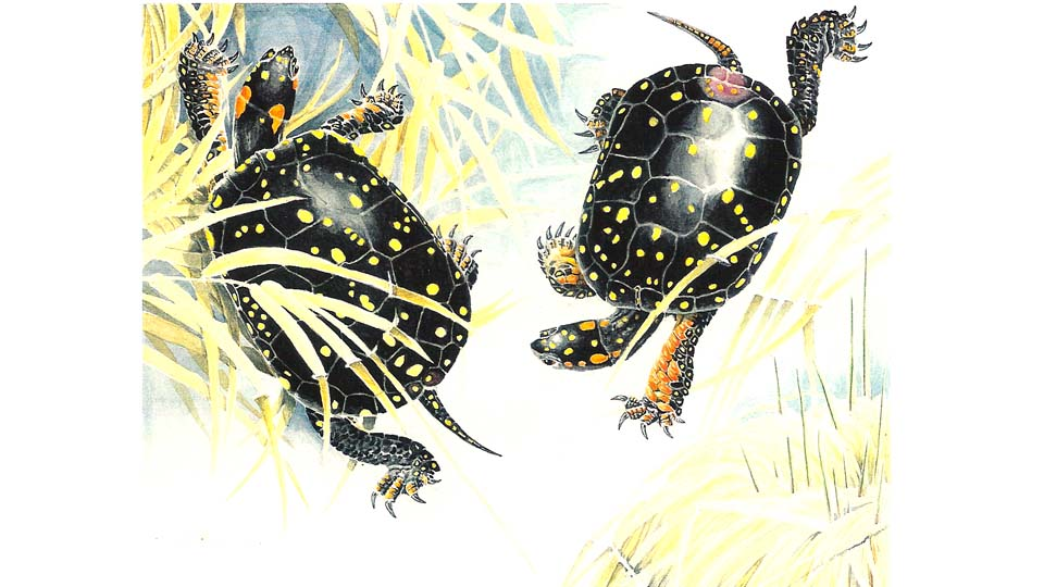 two spotted turtles1