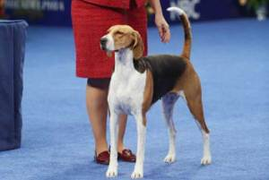 Jewel American Fox Hound