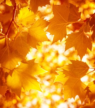 Dry autumnal leaves background, golden maple tree foliage, bright yellow sun shine, autumn park, seasons change, fall nature