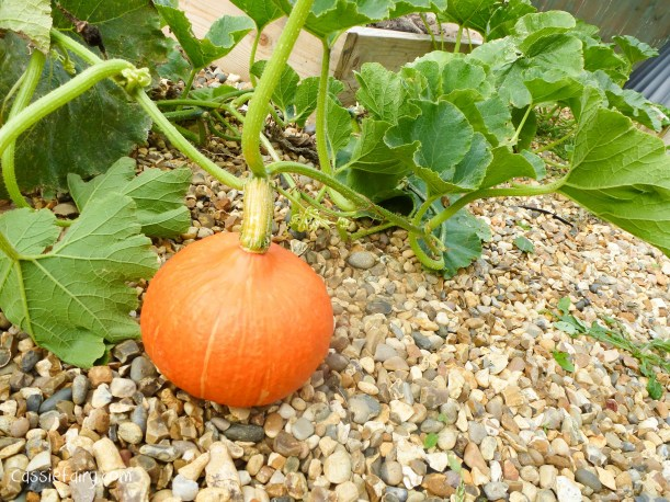 Growing pumpkins and squashes for autumn-3