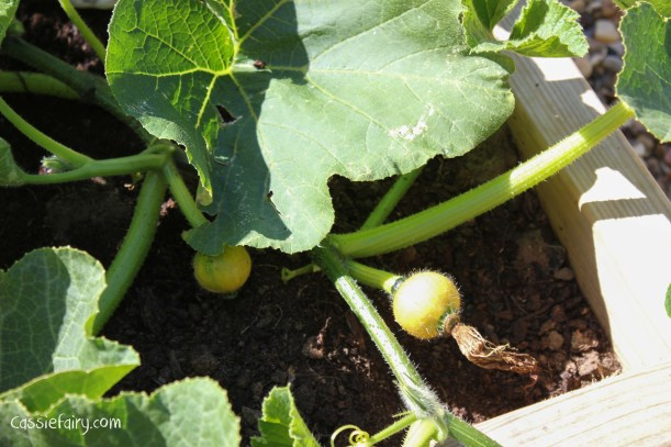 Growing pumpkins and squashes for autumn
