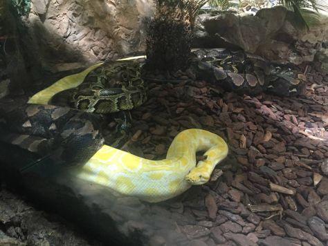 albino python at Haus des Meeres in Vienna, Austria