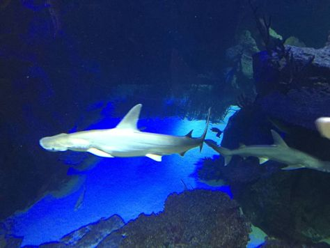 the best photo of one of the hammerhead sharks that I managed to take, they are very fast
