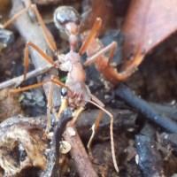 Bull Ant Bites