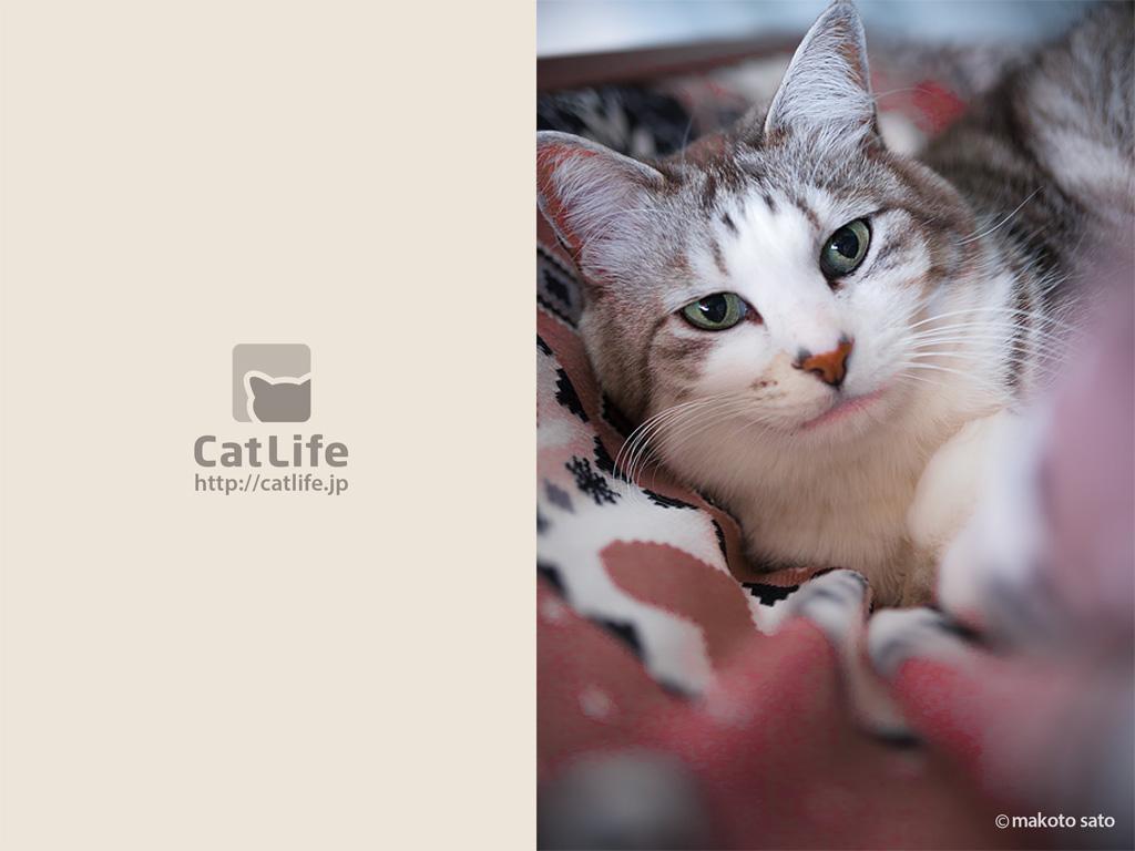 CatLife猫写真壁紙 2014年3月