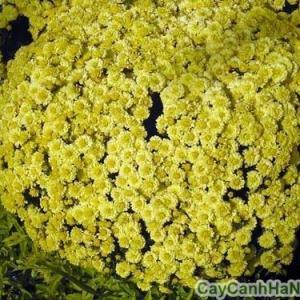 hoa cúc mâm xôi