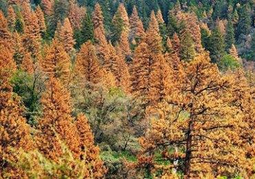 Tree Mortality in Calaveras County