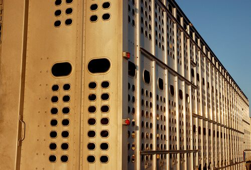 New Policy Would Hold Livestock Haulers Responsible For Animal Abuse