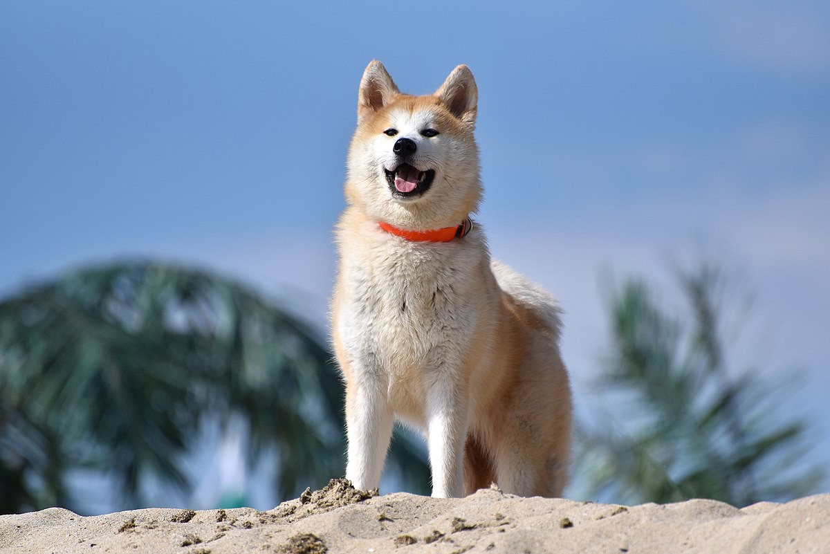 Splendid Akita Has Gained Worldwide Fame Thanks To Story A Dog Who Will Always Be Remembered His Displayof Most Dog Breeds That Are Fit C Wear bark post Most Loyal Dog Breeds