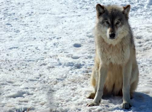 Medium Of Dog Vs Wolf