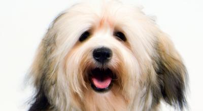 Havanese Dog Breed Information - American Kennel Club