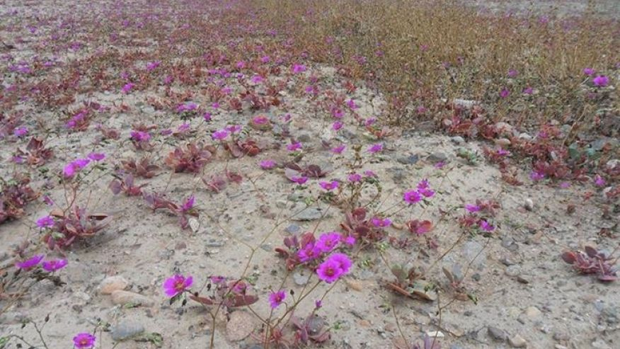 Watch Chile's Atacama Desert Bloom With Color