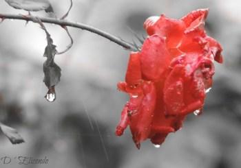 rosa-roja-fotodeldia29junio2016