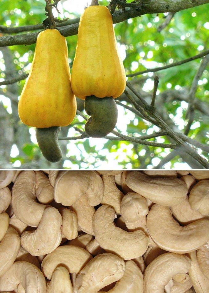2. Кешью горчица, еда, кешью, природа, удивительные факты