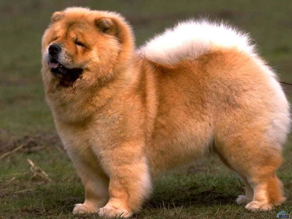 Interesting Most Expensive Chow Chow Most Expensive Dogs Ny Ny Chinese Dog Breed Crossword Clue Chinese Dog Breed Means Puffy Lion bark post Chinese Dog Breeds