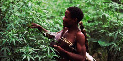 Marijuana is a new cash crop in the Democratic Republic of Congo